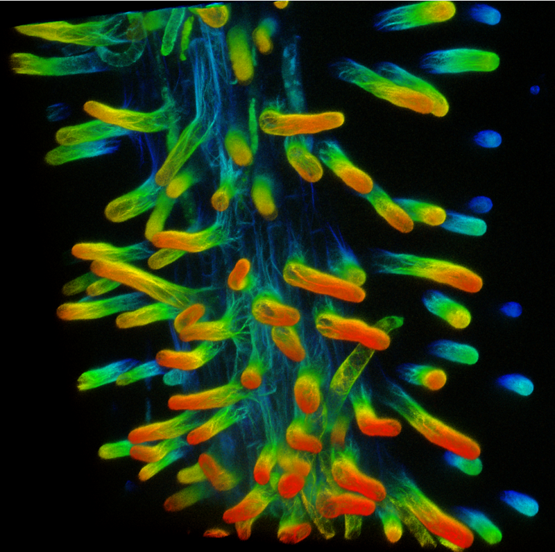 Depth coded image of the actin cytoskeleton in root hairs from the model legume Medicago truncatula. Photo credit: Elison Blancaflor