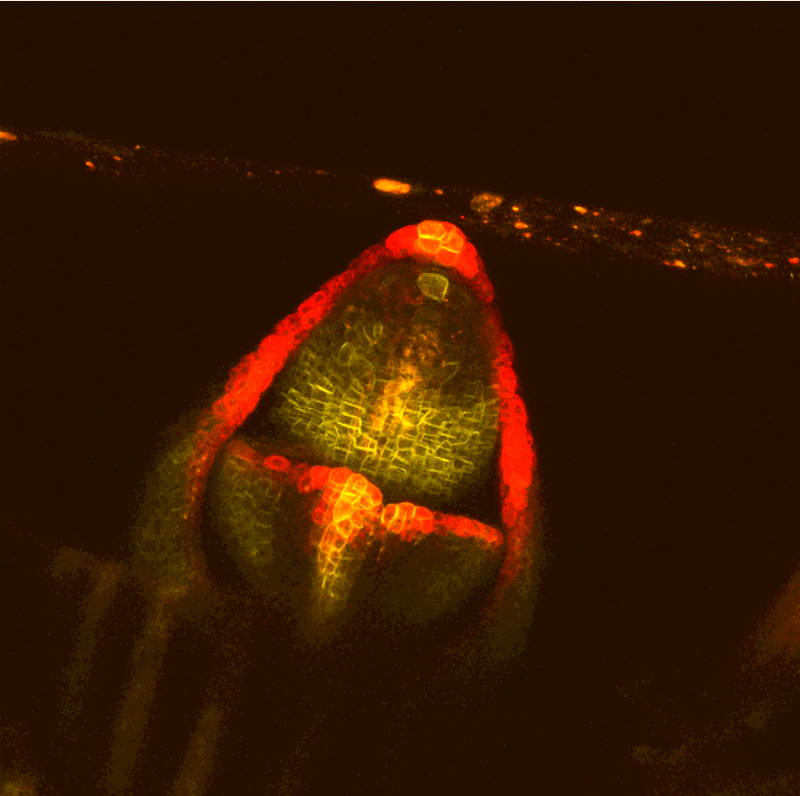 Pin1-YFP (yellow) and DR5::RFP (red) in the maize shoot apex. Photo credit: Leiboff Lab